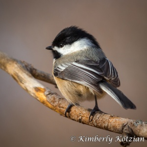 Michigan Chickadee Photo - Kimberly Kotzian
